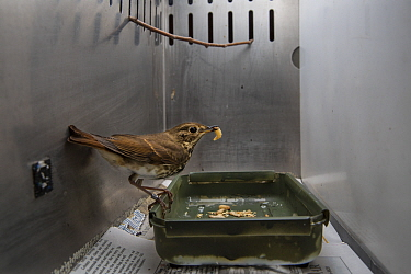 Hermit thrush (Catharus guttatus) captive during scientific study, with a wax worm. This bird is part of a study about weight gain, diet and condition prior to migration. Once the thrush has reached i...