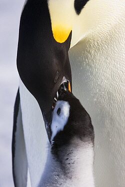 Emperor penguin (Aptenodytes forsteri) feeding young chick, Snow Hill Island rookery, Antarctica. October. Sequence 3 of 3