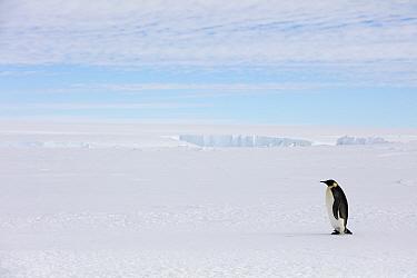 Emperor penguin (Aptenodytes forsteri) walking, Gould Bay, Weddell Sea, Antarctica
