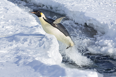 Emperor penguin (Aptenodytes forsteri) leaping out of the sea, Gould Bay, Weddell Sea, Antarctica