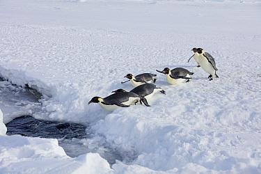 Emperor penguins (Aptenodytes forsteri) entering the sea, Gould Bay, Weddell Sea, Antarctica