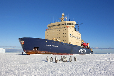Emperor penguins (Aptenodytes forsteri) on sea ice in front of Russian icebreaker Kapitan Khlebnikov, Cape Washington, Ross Sea, Antarctica.