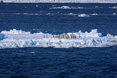 Emperor penguin (Aptenodytes forsteri) moulting chicks on ice floe, Ross Sea, Antarctica. The immature birds make their way across the fast ice and assemble in huge numbers on the ice edge waiting to...