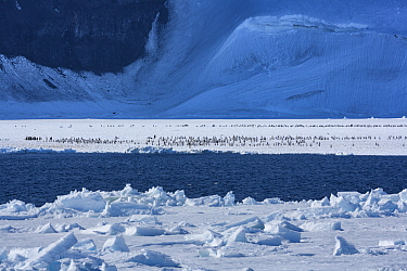 Emperor penguin (Aptenodytes forsteri) chicks on sea ice. The immature birds make their way across the fast ice and assemble in huge numbers on the ice edge waiting to go to sea. ice, Ross Sea, Antarc...