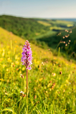 Common-spotted Orchid (Dactylorhiza fuchsii), Fontmell Down, Dorset, UK. June 2013.