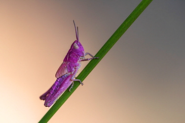 Common field grasshopper (Chorthippus brunneus). Rare pink variation. The pink insect owes its colour to a rare genetic mutation called erythrism - similar to albinism. Few make it to their adult stag...