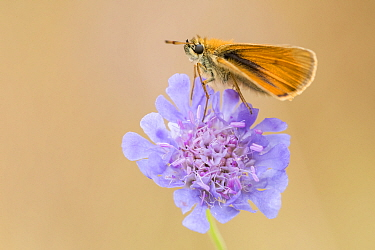 Small skipper butterfly (Thymelicus sylvestris) resting on Devil's bit scabious (Succisa pratensis), Collard Hill, Somerset, UK. July.