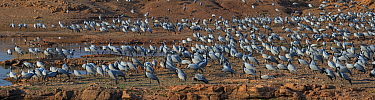 Demoiselle cranes (Grus /  Anthropoides virgo), large flock, at their wintering site, Thar desert, Rajasthan, India. Digitally stitched panorama.