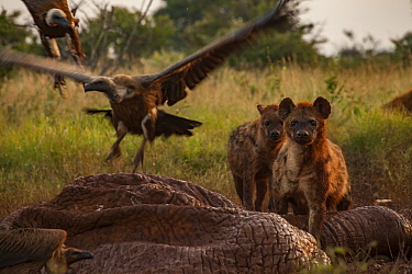 White-backed vultures (Gyps africanus) and spotted hyenas (Crocuta crocuta) squabble over the drying and deflated skin of an elephant carcass (Loxodonta africana), Laikipia Plateau, Kenya. The hyenas...
