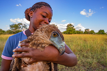Young Mozambican scientist Diolinda Mundoza admires a juvenile bateleur eagle (Terathopius ecaudatus) that she just captured at a goat carcass in Gorongosa National Park, Mozambique. These and other b...