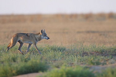Grey wolf (Canis lupus) walking, Astrakhan Steppe, Southern Russia.