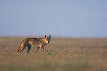 Grey wolf (Canis lupus) walking in Astrakhan Steppe, Southern Russia.