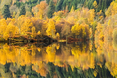 Trees reflected in Loch Tummel, Perthshire, Scotland, UK. October, 2014.