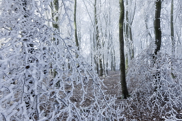Beech (Fagus sylvatica) woodland with hoar frost, West Woods, Compton Abbas, Dorset, England, UK. December.