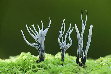 Candle-snuff fungus (Xylaria hypoxylon), New Forest National Park, Hampshire, England, UK. November.