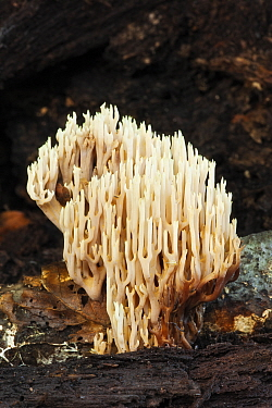Upright coral fungus (Ramaria stricta), Ebernoe Common, West Sussex, England, UK. October.
