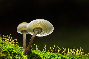 Porcelain fungus (Oudemansiella mucida), New Forest National Park, Hampshire, England, UK. October.