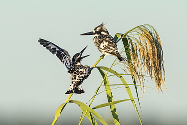 Pied kingfisher (Ceryle rudis), Chobe River, pair perching on reed, Chobe River, Botswana.