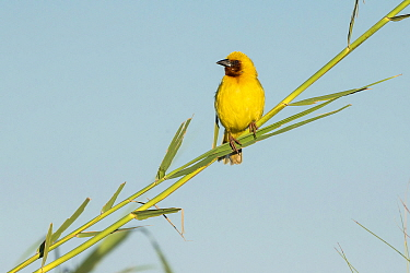 Southern brown-throated weaver (Ploceus xanthopterus) male perched on reed, Chobe River, Botswana.