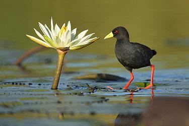 Black crake (Amaurornis flavirostra) standing on lily pads, Chobe River, Botswana.