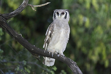 Verreaux's / Giant eagle owl (Bubo lacteus) perched in tree, Khwai, Botswana.