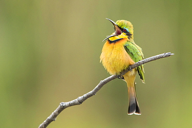 Little bee-eater (Merops pusillus) vocalising whilst perched on branch, Khwai, Botswana.