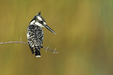 Pied kingfisher (Ceryle rudis), juvenile perched on thorny branch, Chobe River, Botswana.