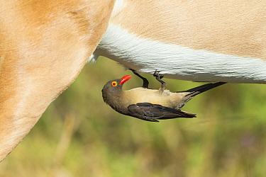 Red-billed oxpecker (Buphagus erythrorhynchus) feeding on Impala (Aepyceros melampus), Savuti, Botswana.