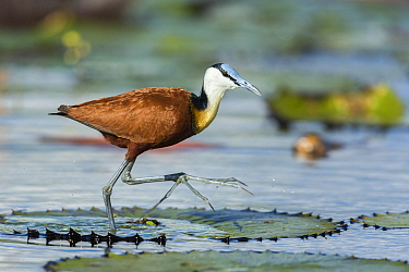 African jacana (Actophilornis africanus) on lily pads, Chobe River, Botswana.