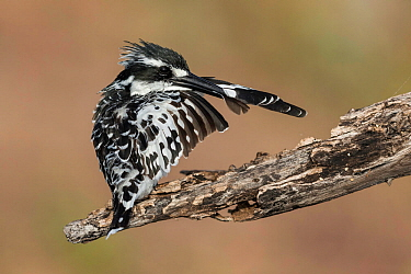 Pied kingfisher (Ceryle rudis) preening whilst perched on branch, Chobe River, Botswana.