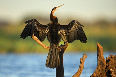 African darter (Anhinga rufa) drying wings whilst perched on branch, Chobe River, Bostwana.