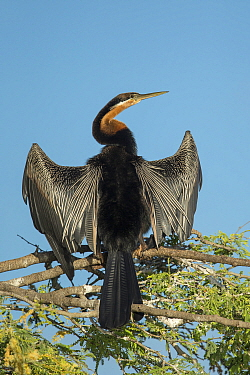 African darter (Anhinga rufa) drying wings whilst perched in tree, Chobe River, Bostwana.