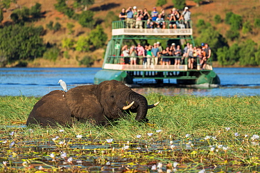 African elephant (Loxodonta africana) with Egret (Ardeidae sp) on back wtih tourists watching from boat in background. Chobe River, Botswana. 2017.