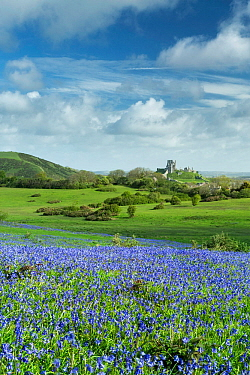 Bluebells (Hyacinthoides non-scripta) at Corfe Common, Corfe Castle in background, Isle of Purbeck, Dorset, England, UK. May 2014.