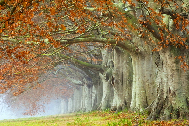 Beech (Fagus sylvatica) avenue, Kingston Lacy, Wimborne, Dorset, England, UK. December 2010.