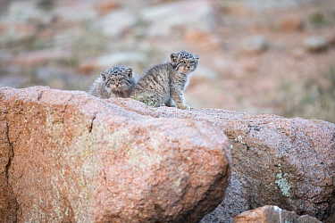 Two juvenile Pallas' cats (Otocolobus manul) sitting on a rock near to their den, Mongolia, June.