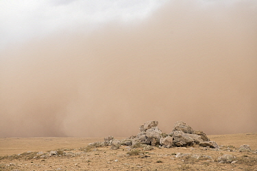 Pallas' cat (Otocolobus manul) den with a sandstorm in the background, Mongolia. June.