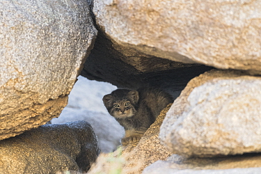 Juvenile Pallas' cat (Otocolobus manul) looking out from inside den, Mongolia, June.