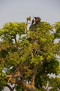 Conservationist making radio call from tree in Shoebill (Balaeniceps rex) habitat, Bengweulu Swamp, Zambia.