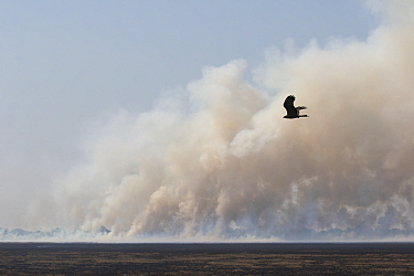 Bush fire, with bird of prey flying in distance, this is a major threat for Shoebill  (Balaeniceps rex)   during the nesting season. Bengweulu Swamp, Zambia
