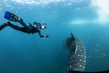 Scuba diver tagging  Whale shark (Rhincodon typus) Tadjourah Gulf, Djibouti.  December 2017.