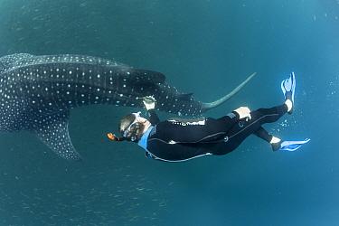 Scuba diver checking Whale shark (Rhincodon typus) tracking device, Tadjourah Gulf, Djibouti.  December 2017.