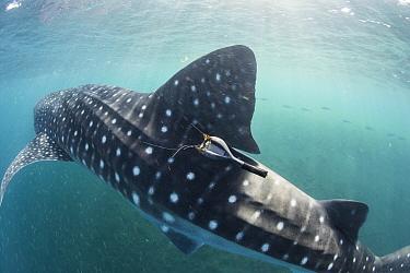Whale shark (Rhincodon typus) with satellite tracking tag, Tadjourah Gulf, Djibouti.  December 2017.