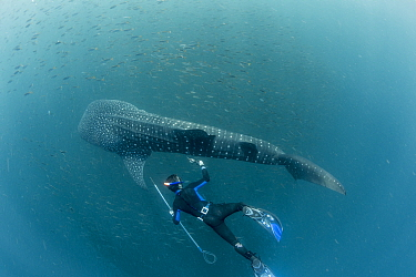 Scuba diver checking on  Whale shark (Rhincodon typus) tracking tag, Tadjourah Gulf, Djibouti.