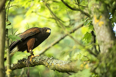Harris hawk (Parabuteo unicinctus) perched in tree, controlled conditions with falconry bird.