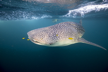 Whale shark (Rhincodon typus) with scuba diver in the backgroundTadjourah Gulf, Djibouti.