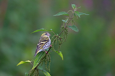 Eurasian Siskin (Carduelis spinus) perched on Stinging nettle (Urtica dioica), Ceredigion, Wales, UK. August.
