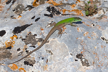 Italian wall lizard (Podarcis siculus), Sicily, Italy. April.