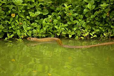 Oriental rat snake (Ptyas mucosa) in water,  Sri Lanka.