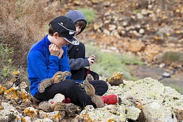 Boys feeding Barbary ground squirrels (Atlantoxerus getulus). Fuerteventura, Canary Islands, Spain. February 2018.